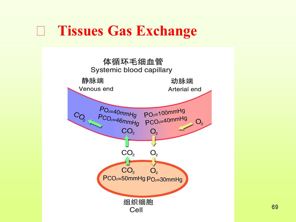 Ⅲ Tissues Gas Exchange