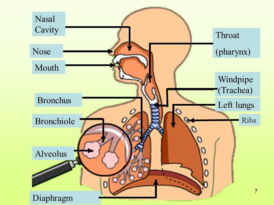 Nasal Cavity Throat (pharynx) Nose Mouth Windpipe (Trachea) Bronchus