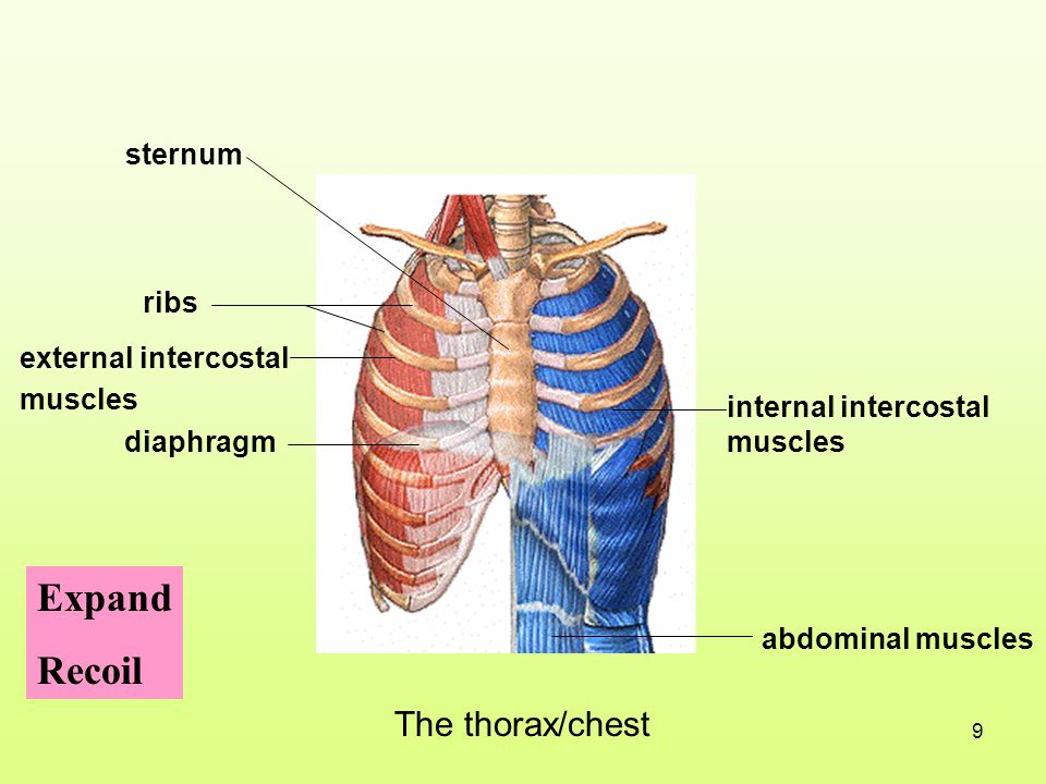 Expand Recoil The thorax/chest sternum ribs