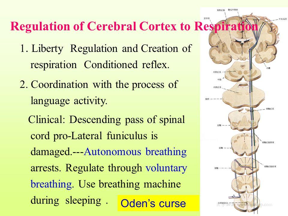 Regulation of Cerebral Cortex to Respiration