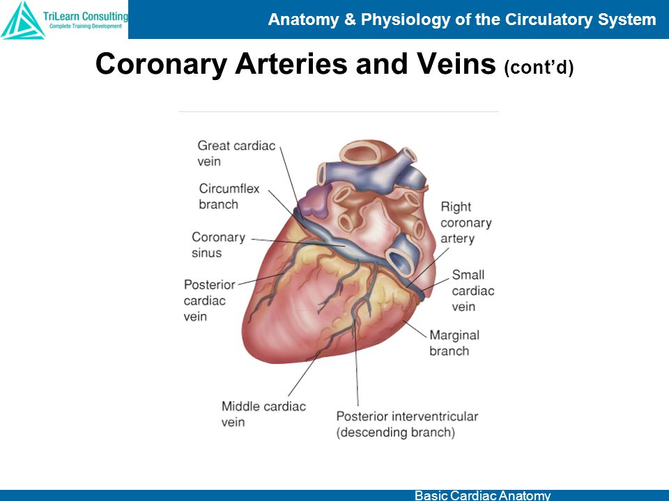 Coronary Arteries and Veins (cont'd)