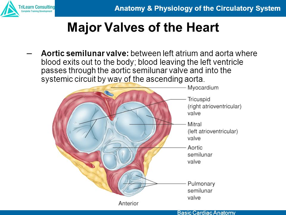 Major Valves of the Heart
