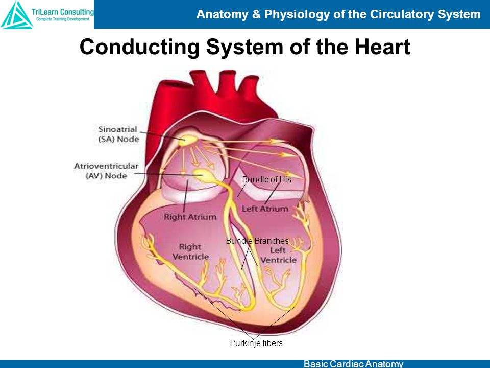 Conducting System of the Heart