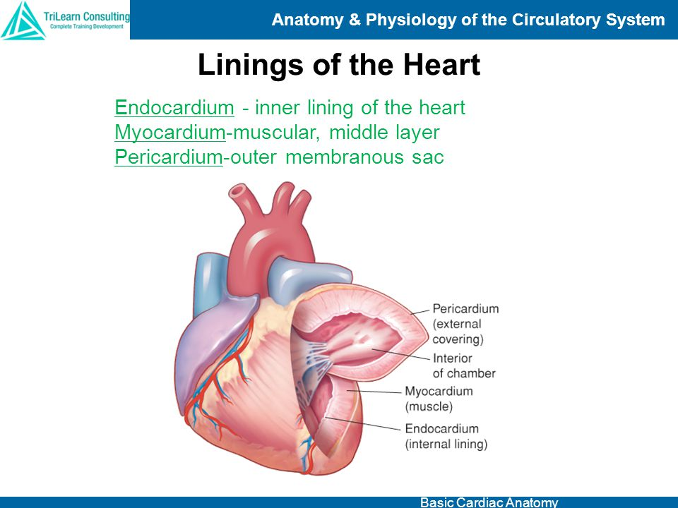Linings of the Heart Endocardium - inner lining of the heart