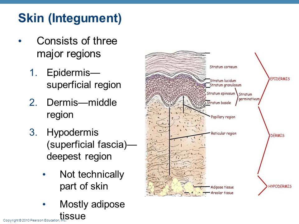 Skin (Integument) Consists of three major regions