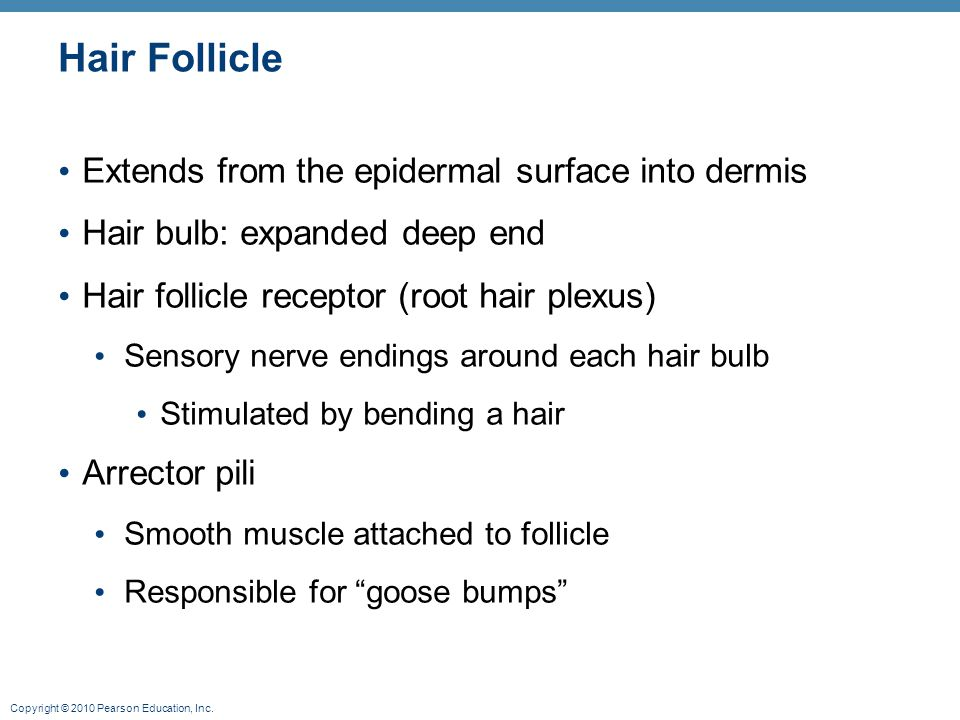 Hair Follicle Extends from the epidermal surface into dermis