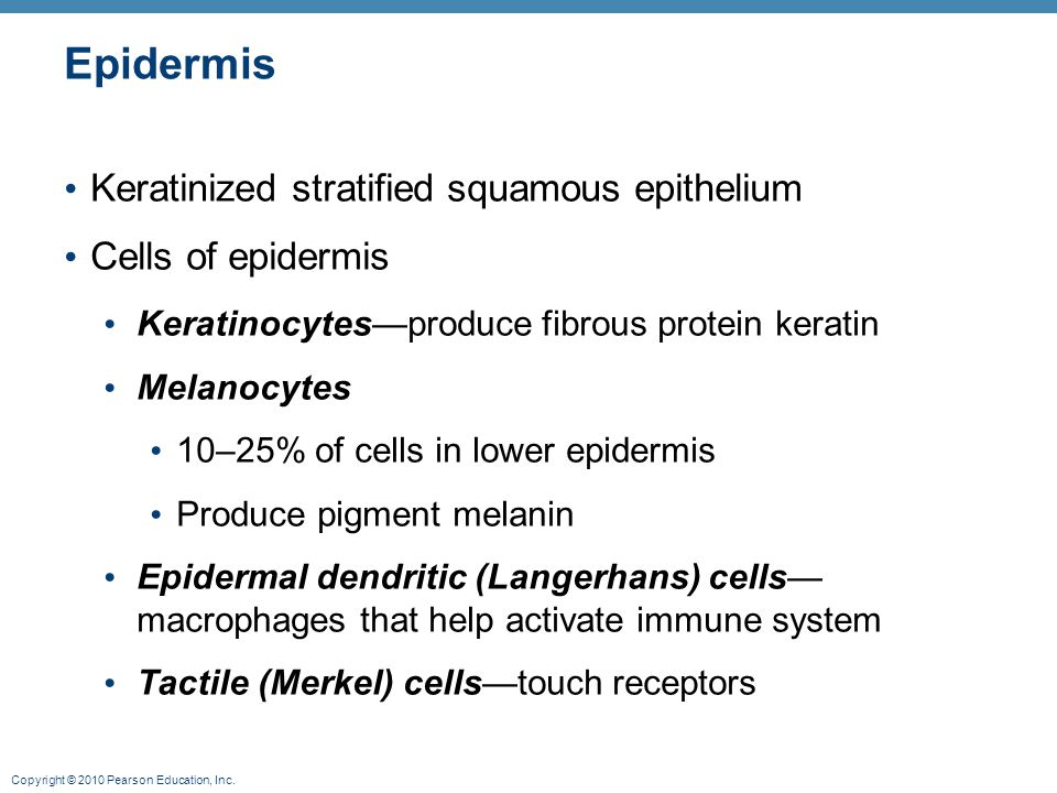 Epidermis Keratinized stratified squamous epithelium