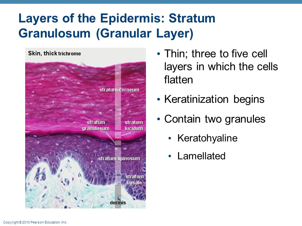Layers of the Epidermis: Stratum Granulosum (Granular Layer)