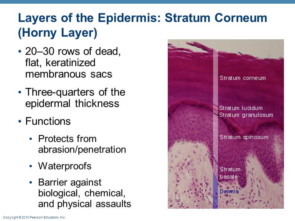 Layers of the Epidermis: Stratum Corneum (Horny Layer)