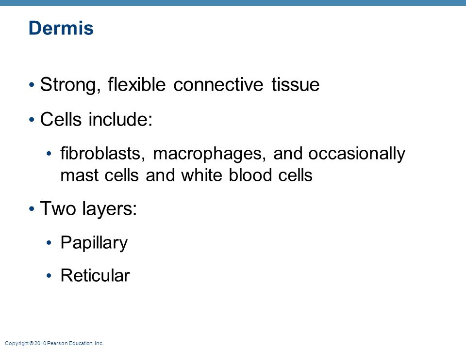 Strong, flexible connective tissue Cells include: