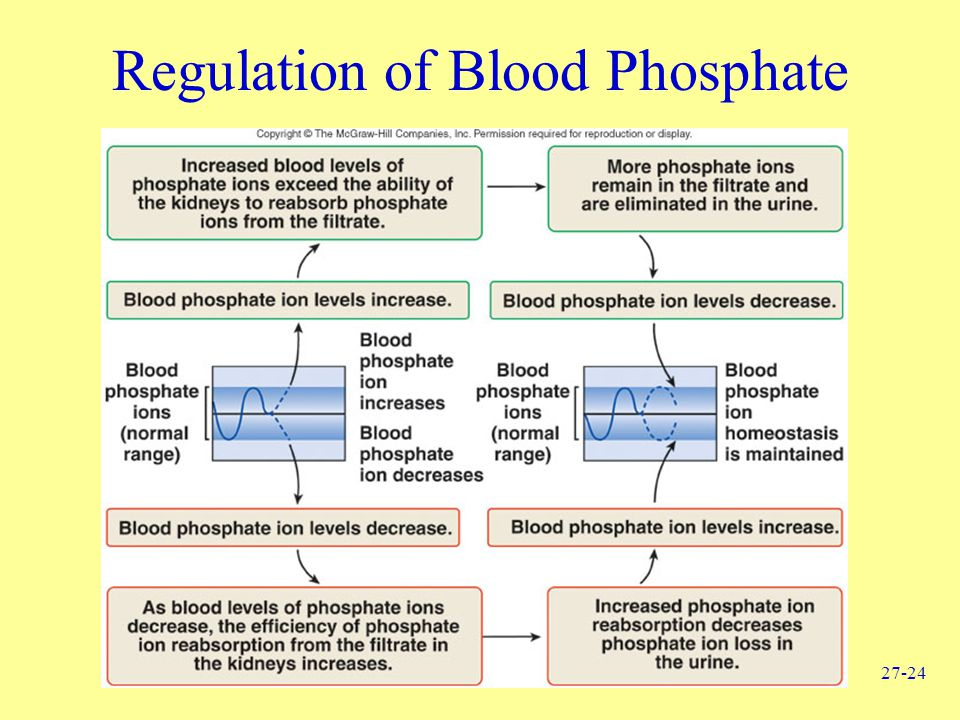 Regulation of Blood Phosphate
