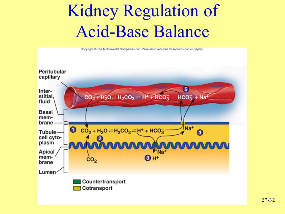 Kidney Regulation of Acid-Base Balance