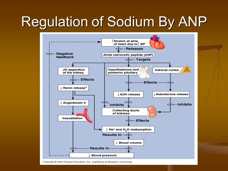 Regulation of Sodium By ANP