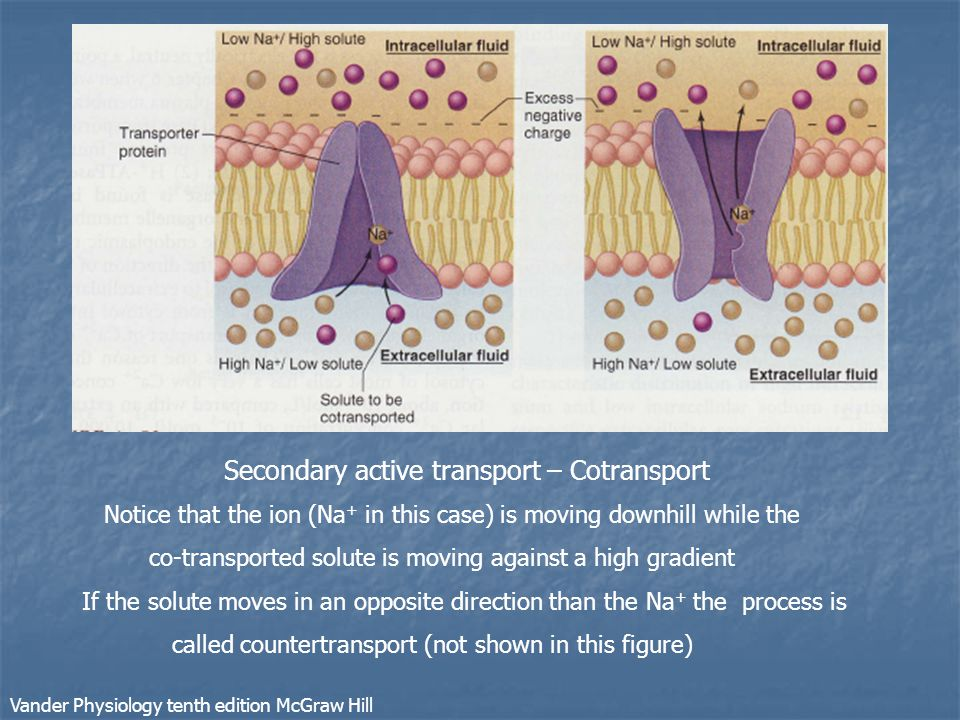 Secondary active transport – Cotransport