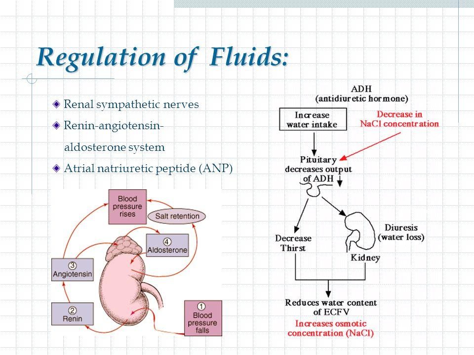 Regulation of Fluids: Renal sympathetic nerves Renin-angiotensin-