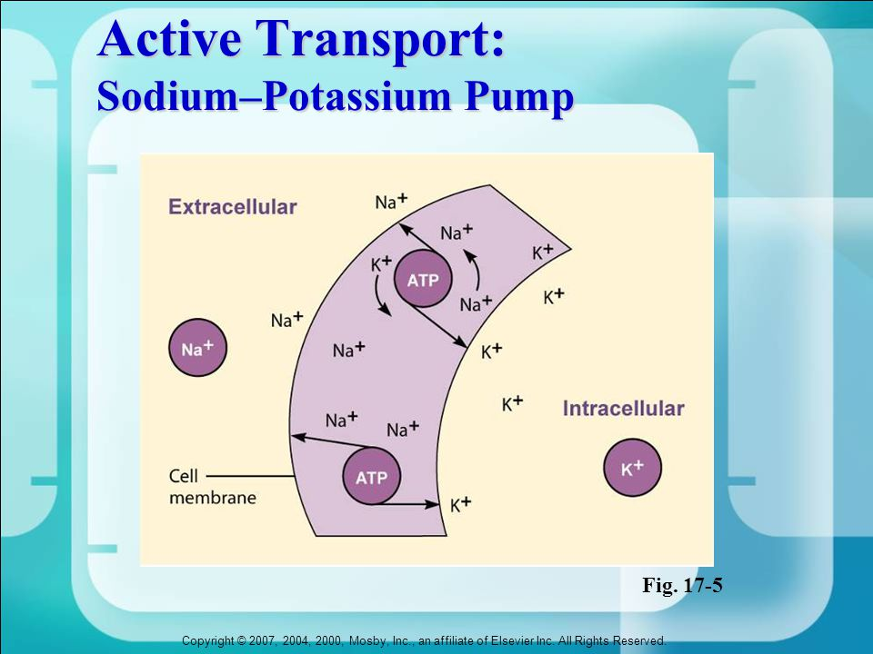 Active Transport: Sodium–Potassium Pump
