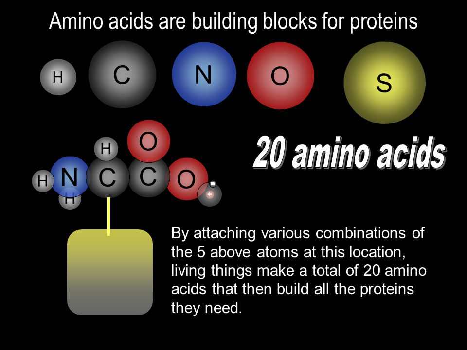 Amino acids are building blocks for proteins