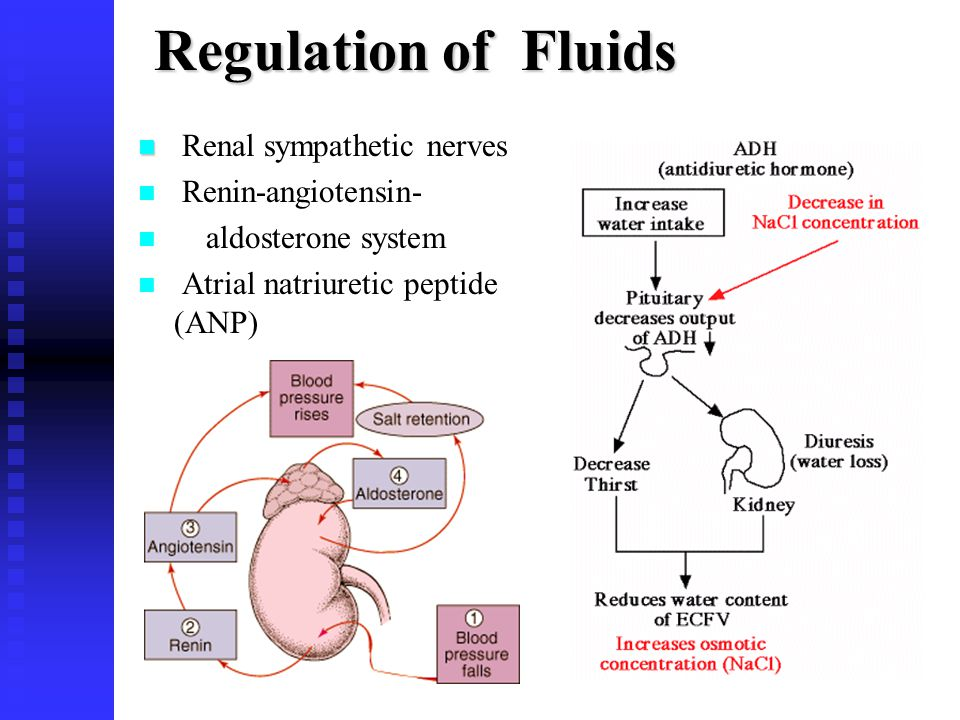 Regulation of Fluids Renal sympathetic nerves Renin-angiotensin-