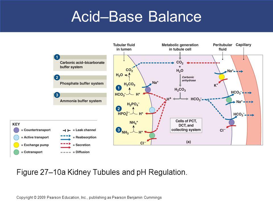 Acid–Base Balance Figure 27–10a Kidney Tubules and pH Regulation.