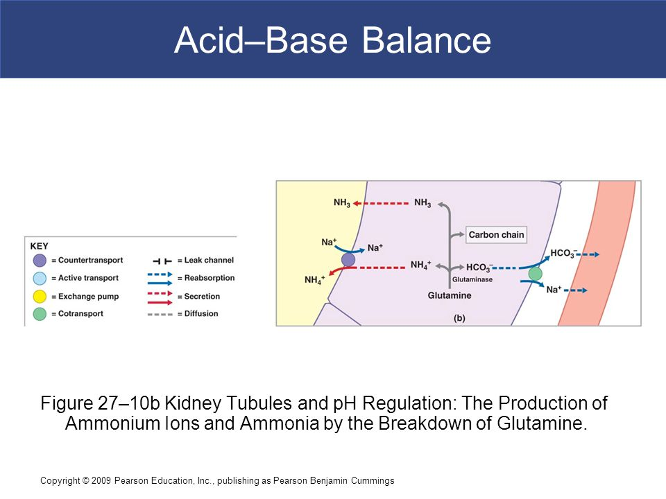 Acid–Base Balance Figure 27–10b Kidney Tubules and pH Regulation: The Production of Ammonium Ions and Ammonia by the Breakdown of Glutamine.
