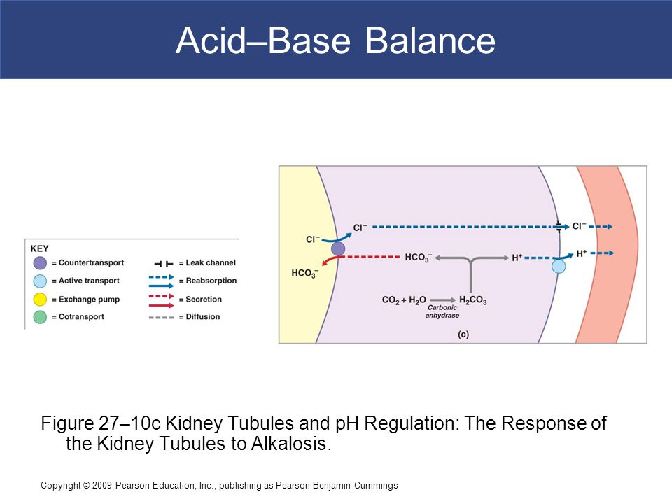 Acid–Base Balance Figure 27–10c Kidney Tubules and pH Regulation: The Response of the Kidney Tubules to Alkalosis.