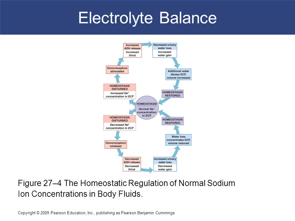 Electrolyte Balance Figure 27–4 The Homeostatic Regulation of Normal Sodium. Ion Concentrations in Body Fluids.
