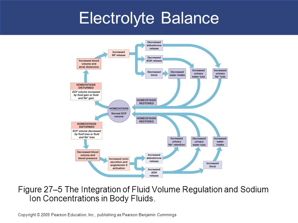 Electrolyte Balance Figure 27–5 The Integration of Fluid Volume Regulation and Sodium Ion Concentrations in Body Fluids.