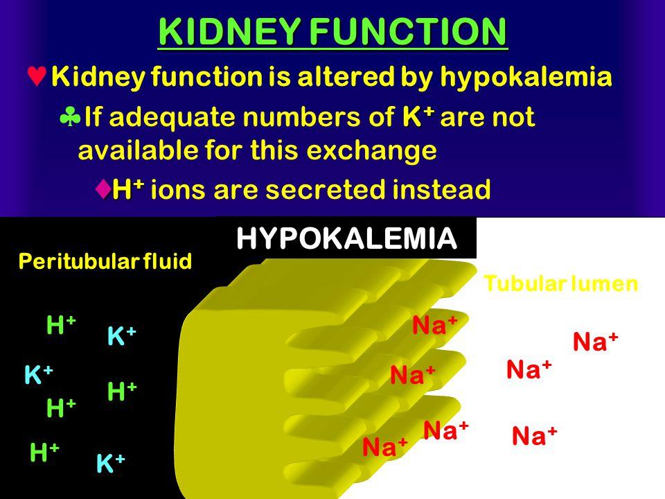 KIDNEY FUNCTION HYPOKALEMIA Kidney function is altered by hypokalemia