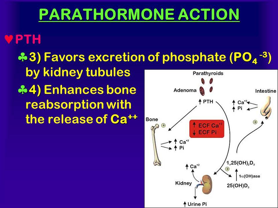 PARATHORMONE ACTION PTH