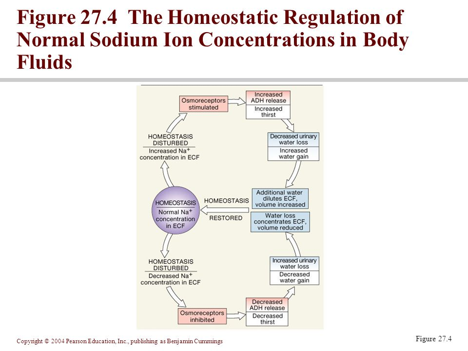 Figure 27.4 The Homeostatic Regulation of Normal Sodium Ion Concentrations in Body Fluids