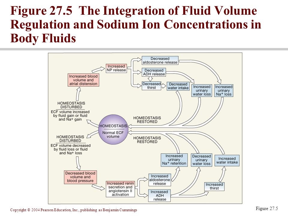Figure 27.5 The Integration of Fluid Volume Regulation and Sodium Ion Concentrations in Body Fluids