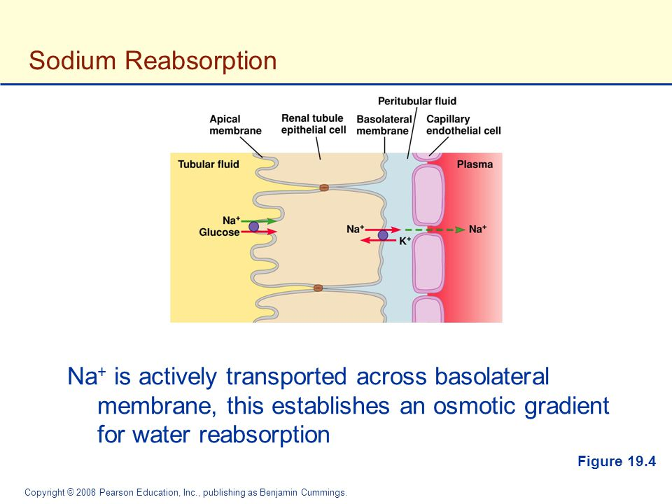 Sodium Reabsorption Na+ is actively transported across basolateral membrane, this establishes an osmotic gradient for water reabsorption.