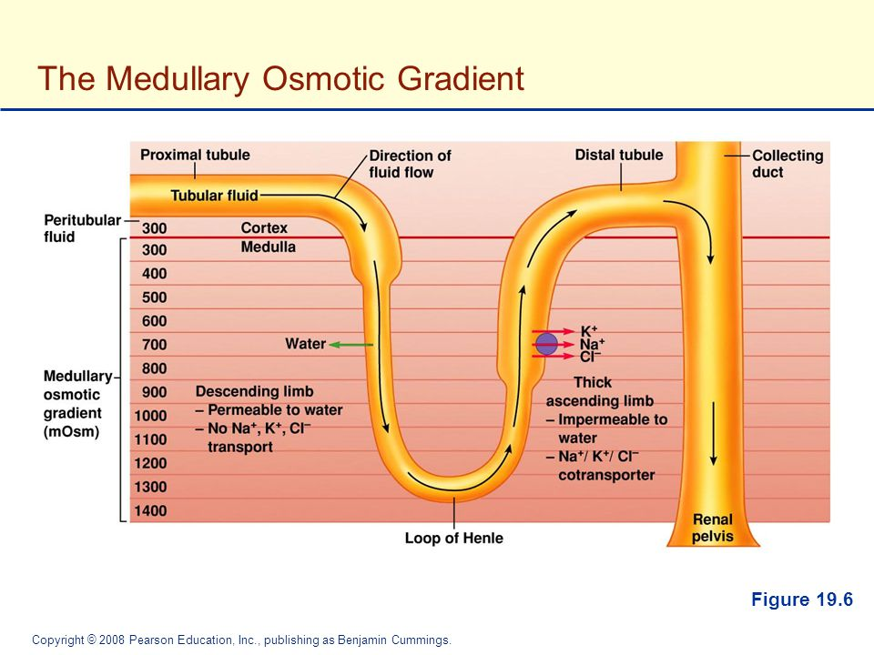 The Medullary Osmotic Gradient