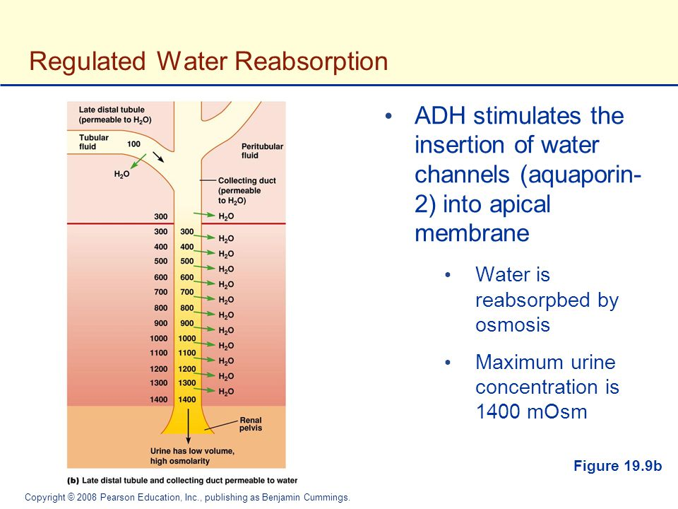 Regulated Water Reabsorption