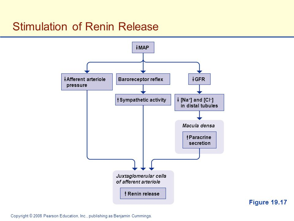 Stimulation of Renin Release