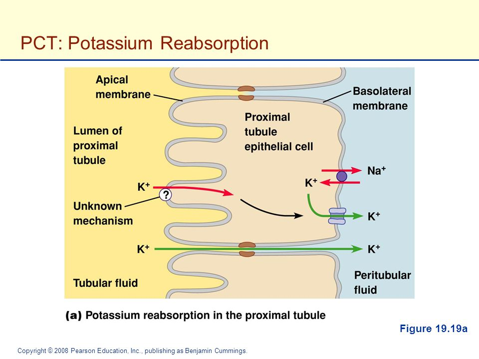 PCT: Potassium Reabsorption