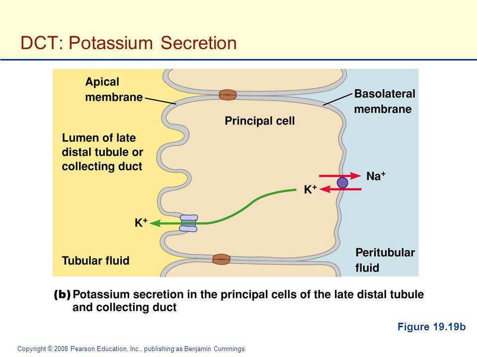 DCT: Potassium Secretion