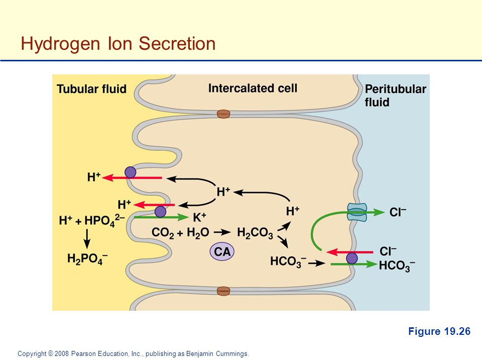 Hydrogen Ion Secretion
