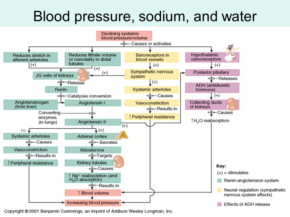 Blood pressure, sodium, and water