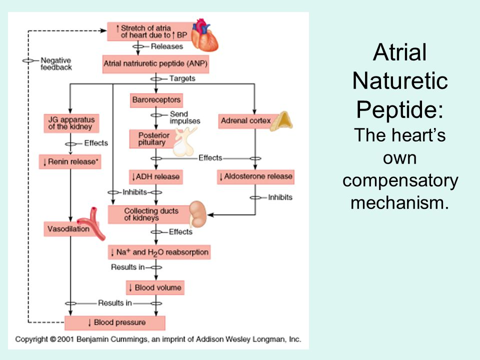 Atrial Naturetic Peptide: The heart's own compensatory mechanism.