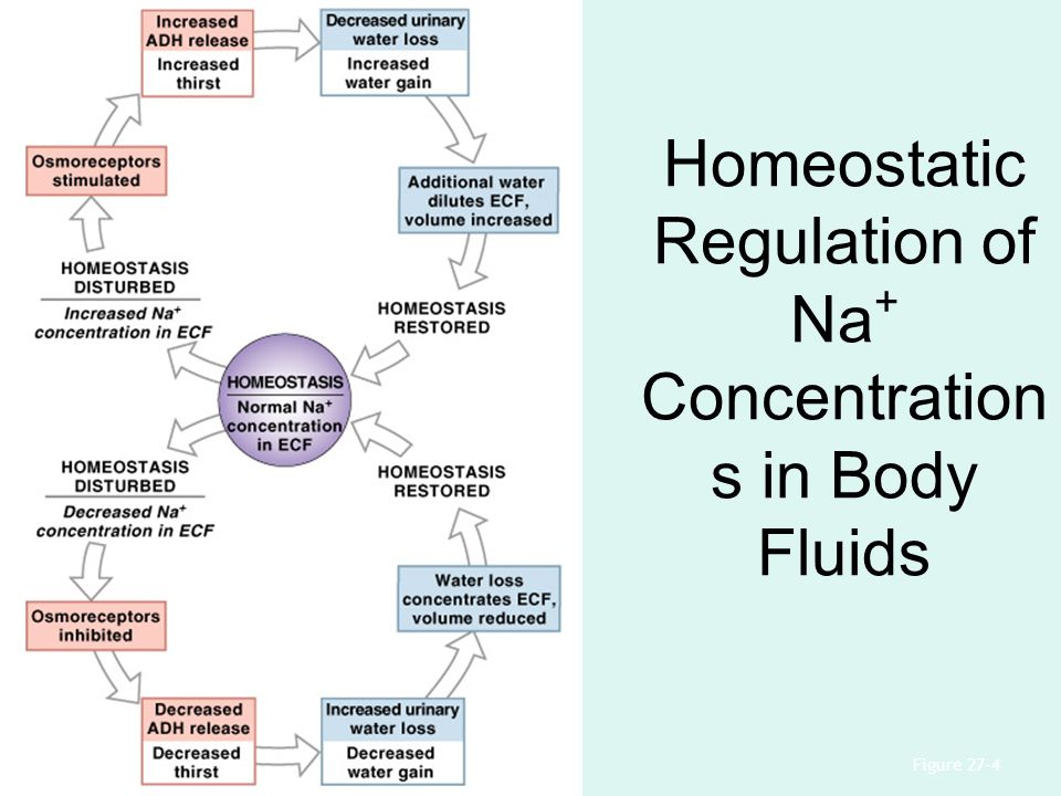 Homeostatic Regulation of Na+ Concentrations in Body Fluids