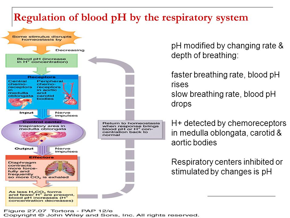 Regulation of blood pH by the respiratory system