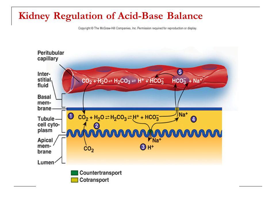 Kidney Regulation of Acid-Base Balance