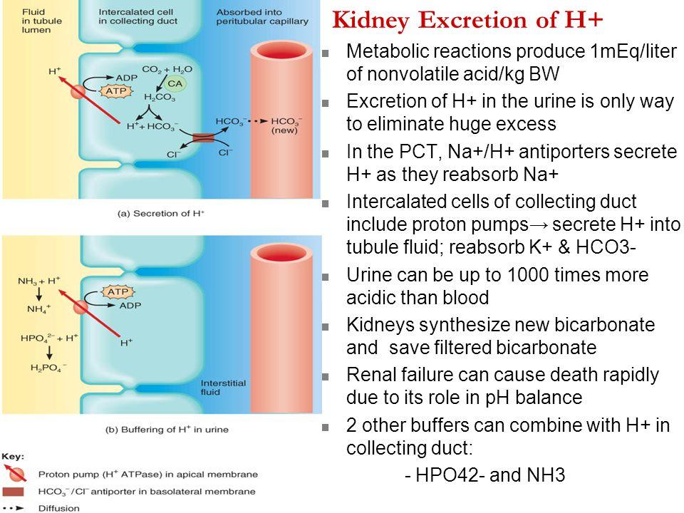 Kidney Excretion of H+ Metabolic reactions produce 1mEq/liter of nonvolatile acid/kg BW.