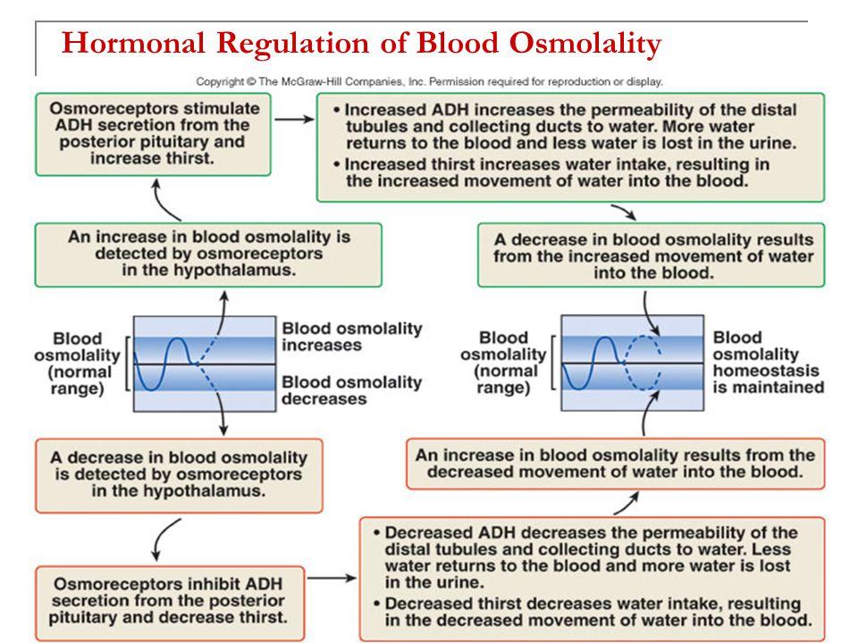 Hormonal Regulation of Blood Osmolality