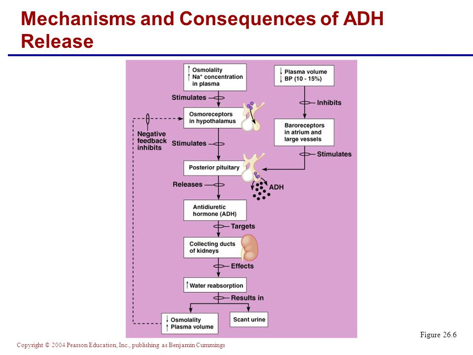 Mechanisms and Consequences of ADH Release