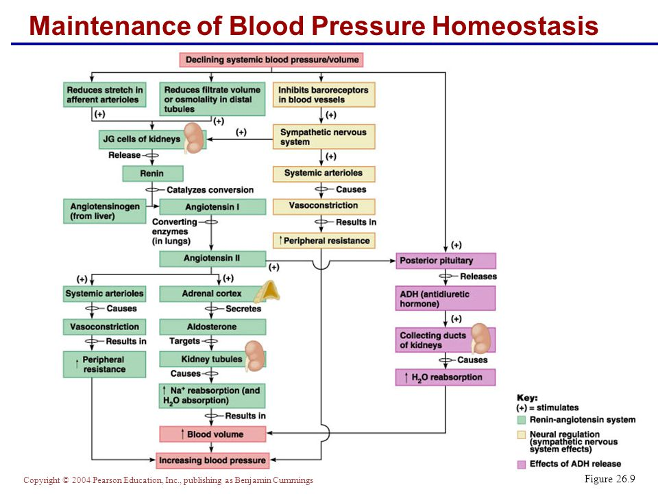 Maintenance of Blood Pressure Homeostasis