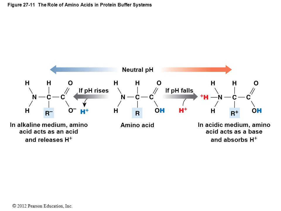 Figure 27-11 The Role of Amino Acids in Protein Buffer Systems