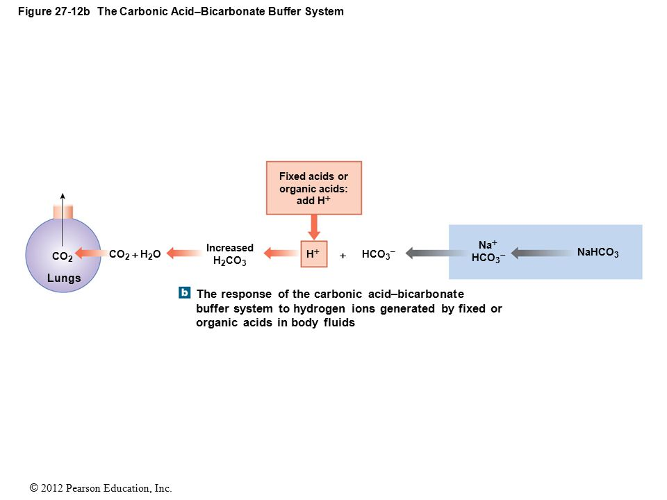 Figure 27-12b The Carbonic Acid–Bicarbonate Buffer System
