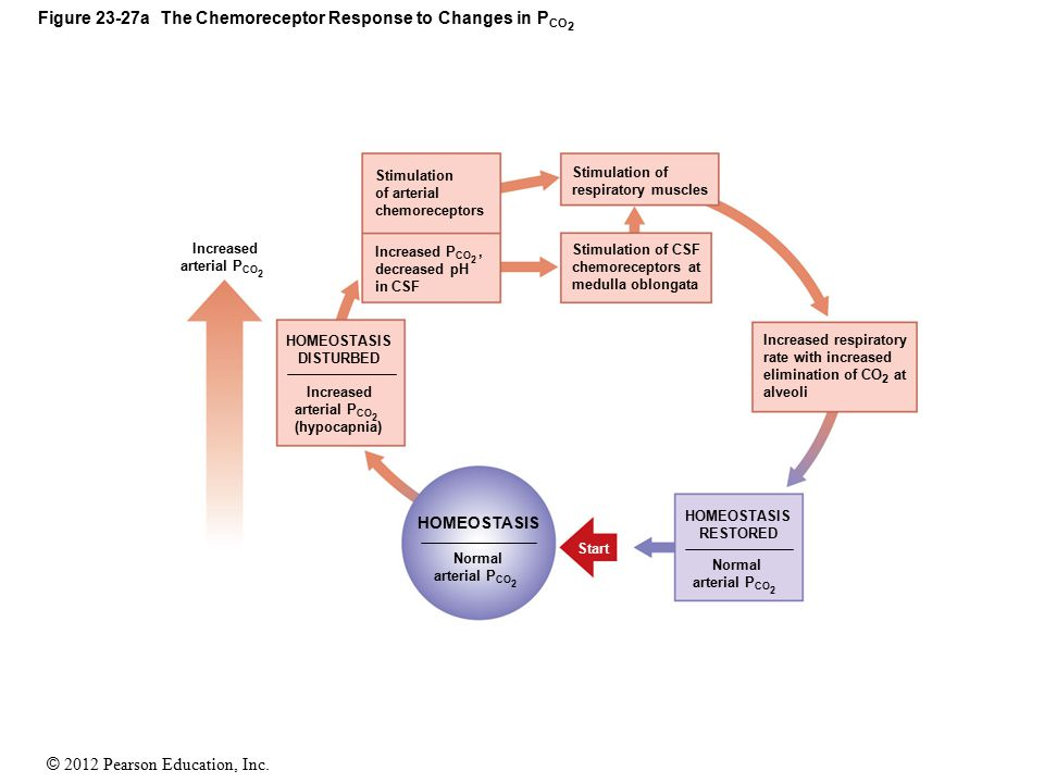Figure 23-27a The Chemoreceptor Response to Changes in PCO2